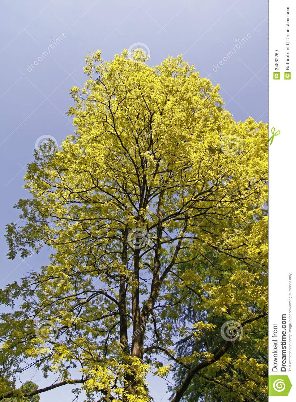 False Acacia, Black Locust, Robinia Pseudoacacia From Germany.