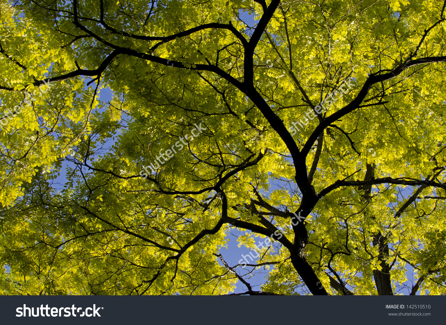 Golden Leaves Branches Golden False Acacia Stock Photo 142510510.
