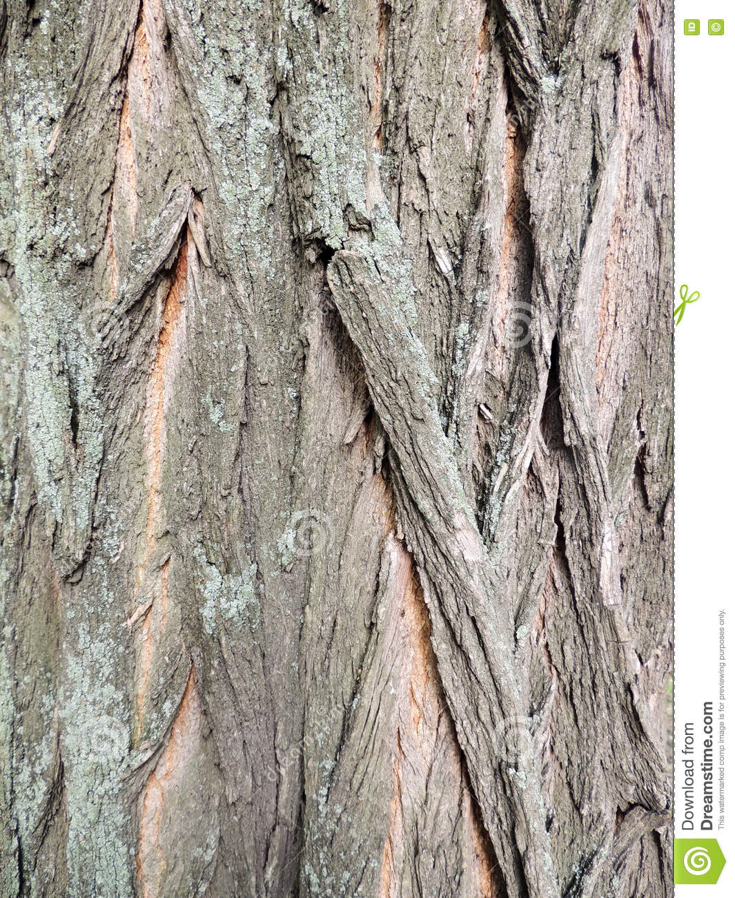Bark On False Acacia (Robinia Pseudoacacia) Stock Photo.
