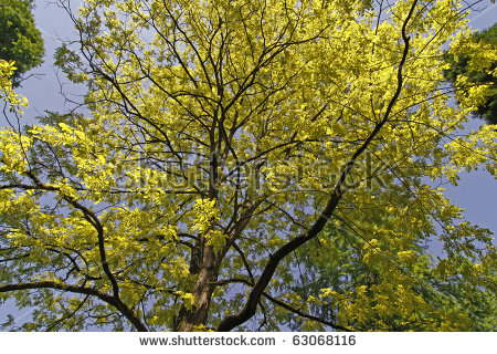 "robinia Pseudoacacia"" Stock Photos, Royalty."