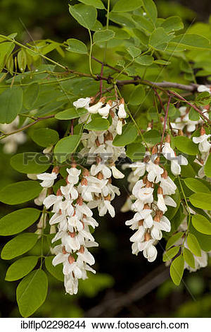 "Stock Photo of ""False Acacia (Robinia pseudoacacia), introduced."