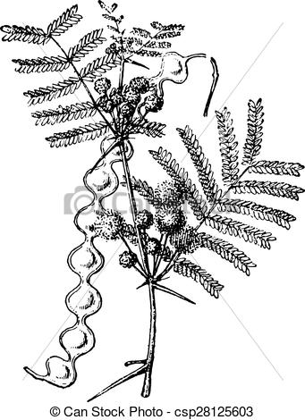 Vector Clipart of False acacia, vintage engraving..