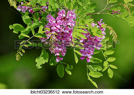 "Stock Photo of ""Locust tree or False Acacia (Robinia hybrid."