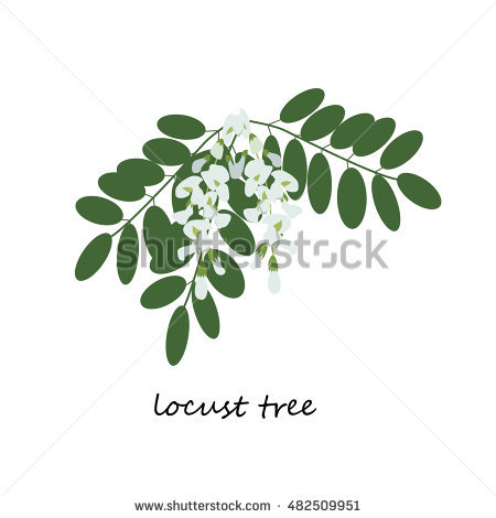 False Acacia Stock Photos, Royalty.