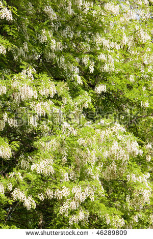 False Acacia Tree Stock Photos, Royalty.