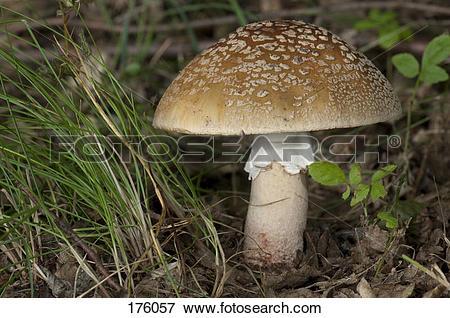 Picture of Blusher, Woodland Pink Mushroom (Amanita rubescens.