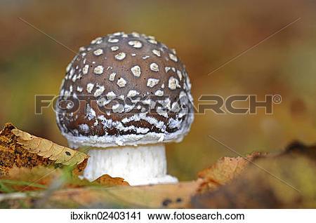 Stock Photography of Panther cap or false blusher mushroom.