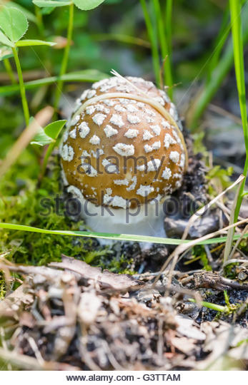 False Blusher Mushroom Stock Photos & False Blusher Mushroom Stock.