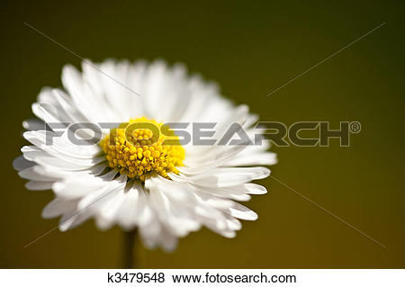 Pictures of Mayweed (false chamomile) k3479548.