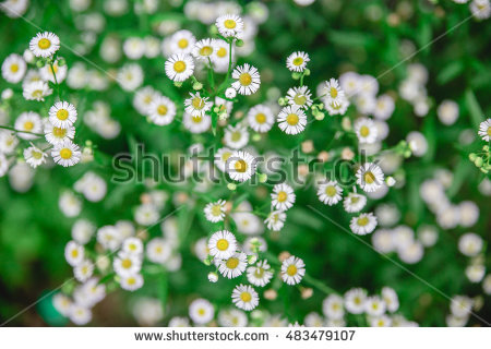 """false Daisy"" Stock Images, Royalty."