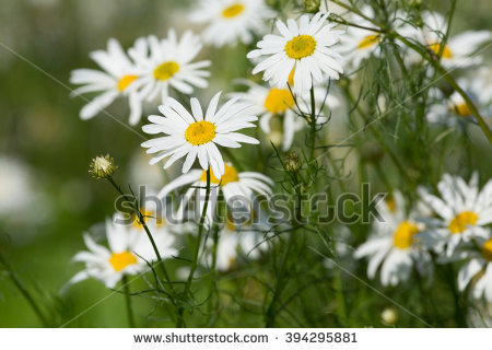 Mayweed Stock Photos, Royalty.