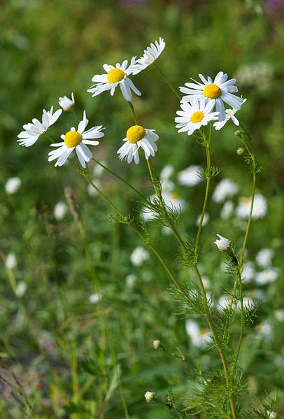 Botanical Accuracy: Chamomile, what flower is on your tea box?.
