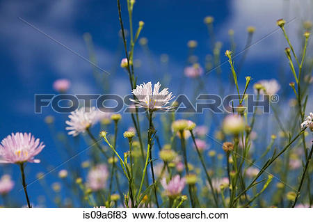 Stock Photo of False chamomile flowers is09a6f83.