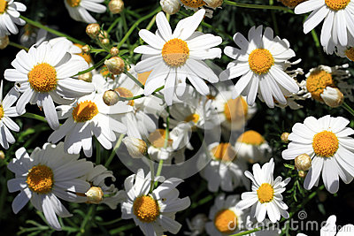 Anthemis Arvensis Known As Corn Chamomile Stock Photo.