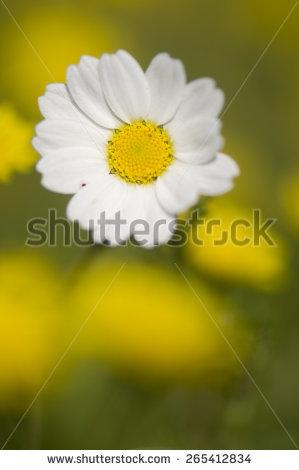 "false_daisy"" Stock Photos, Royalty."