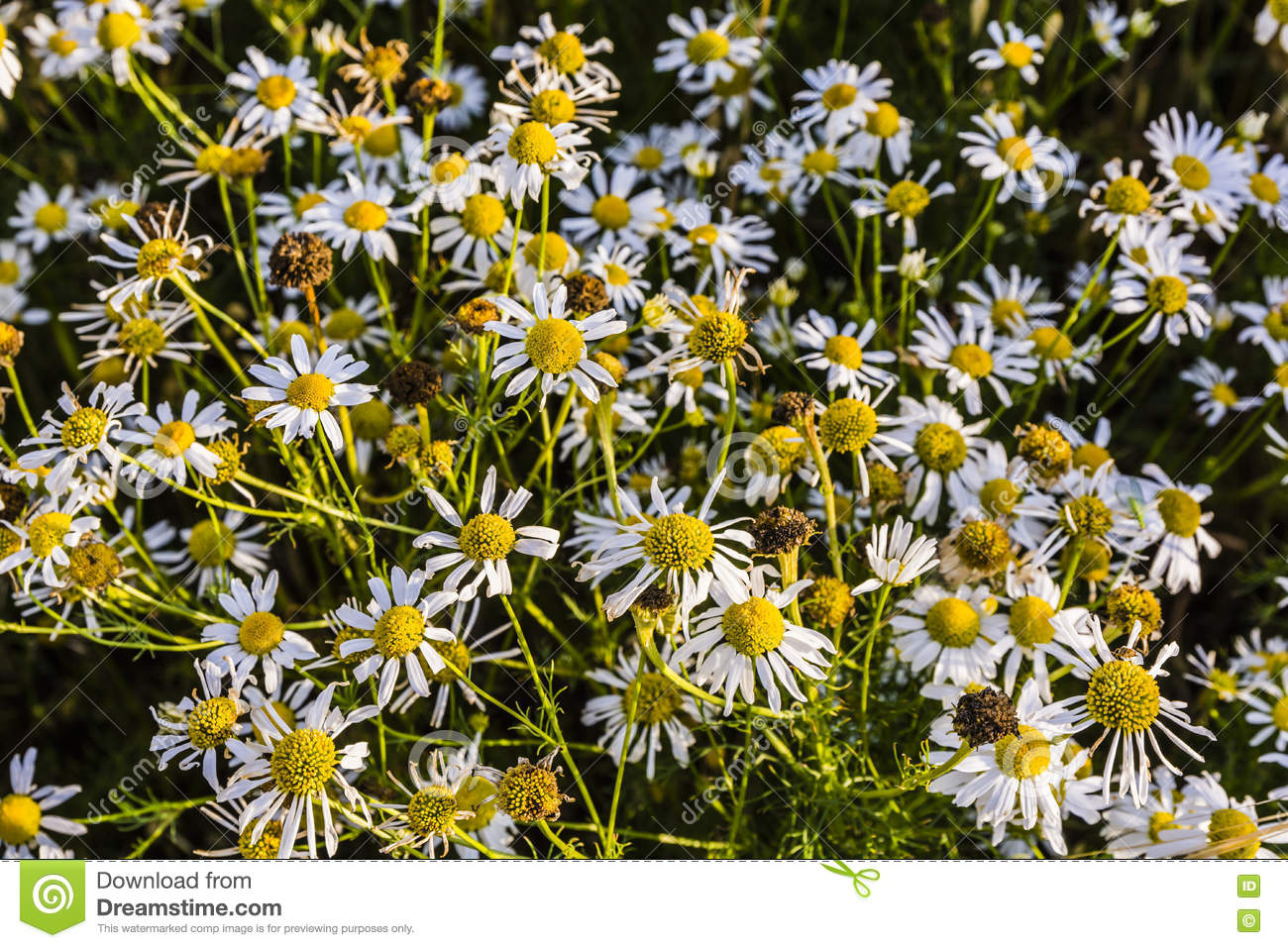 Tripleurospermum Indorum, Scentless False Mayweed, Scentless.