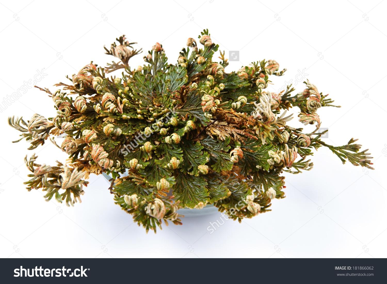 Rose Of Jericho (Selaginella Lepidophylla), False Rose Of Jericho.