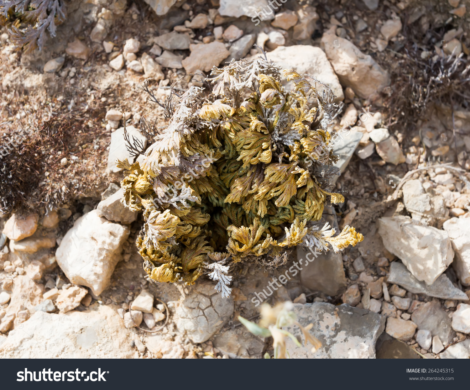 Selaginella Lepidophylla (Syn. Lycopodium Lepidophyllum) In The.