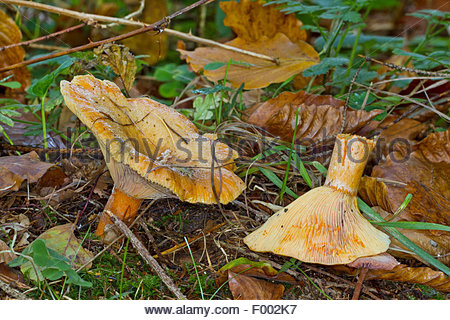 Lactarius Stock Photos & Lactarius Stock Images.