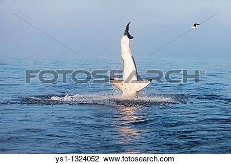 Stock Photo of GREAT WHITE SHARK carcharodon carcharias, ADULT.