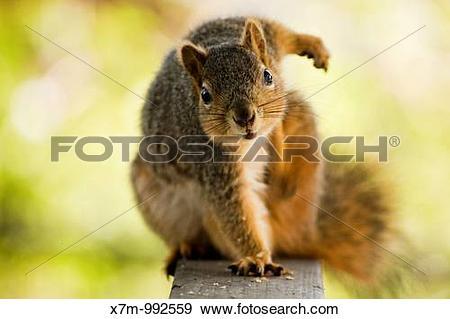 Stock Photograph of Fox tree squirrel Sciurus niger Order.