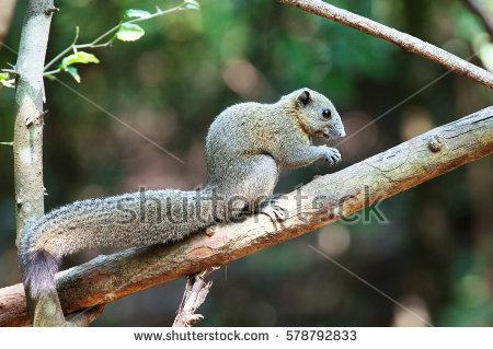 Squirrel Family Stock Photos, Royalty.