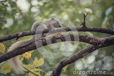 Squirrels On Tree Branch Royalty Free Stock Images.