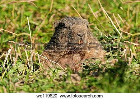 Stock Photography of Alpine Marmot Marmota marmota, looking out of.
