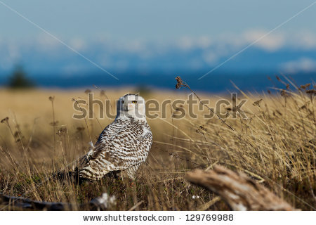 Strigidae Family Stock Photos, Royalty.