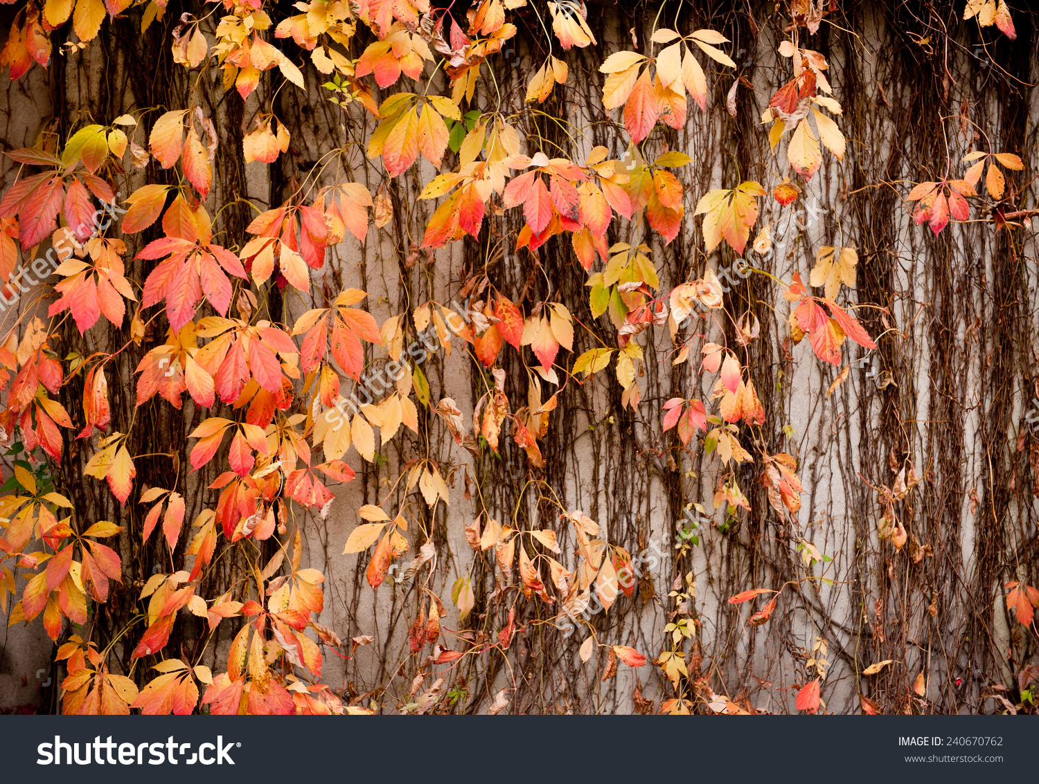 Vitaceae Family Ivy Wall Abstract Parthenocissus Stock Photo.