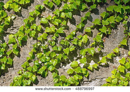 Family vitaceae clipart #17