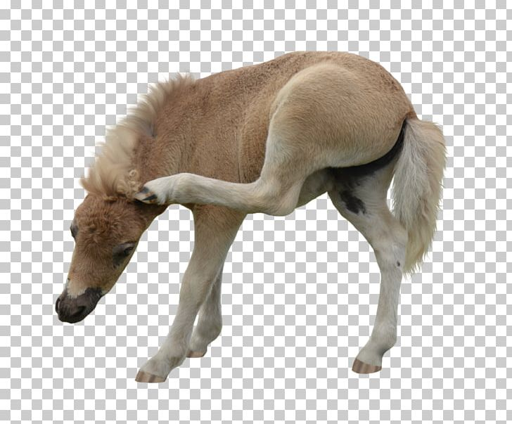American Miniature Horse Pony Foal Mustang Stallion PNG.