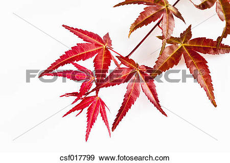 Stock Photograph of Twig of Japanese fan maple, close up csf017799.