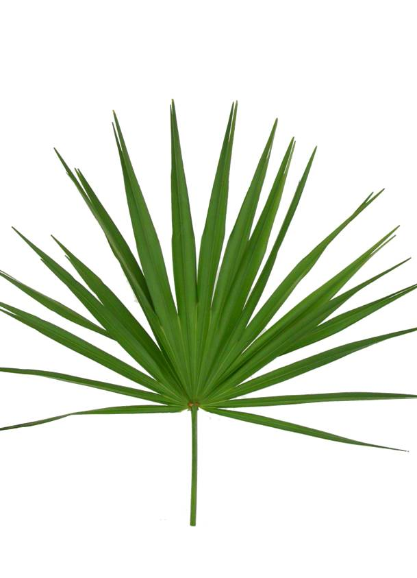 Palmetto Tree Pictures.