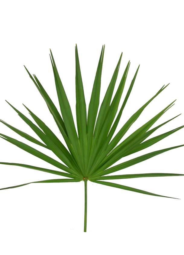 Palm fan clipart #4