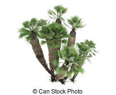 Fan palm Illustrations and Clip Art. 450 Fan palm royalty free.