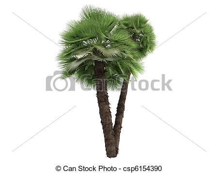 Stock Illustration of European Fan Palm or Chamaerops humilis.