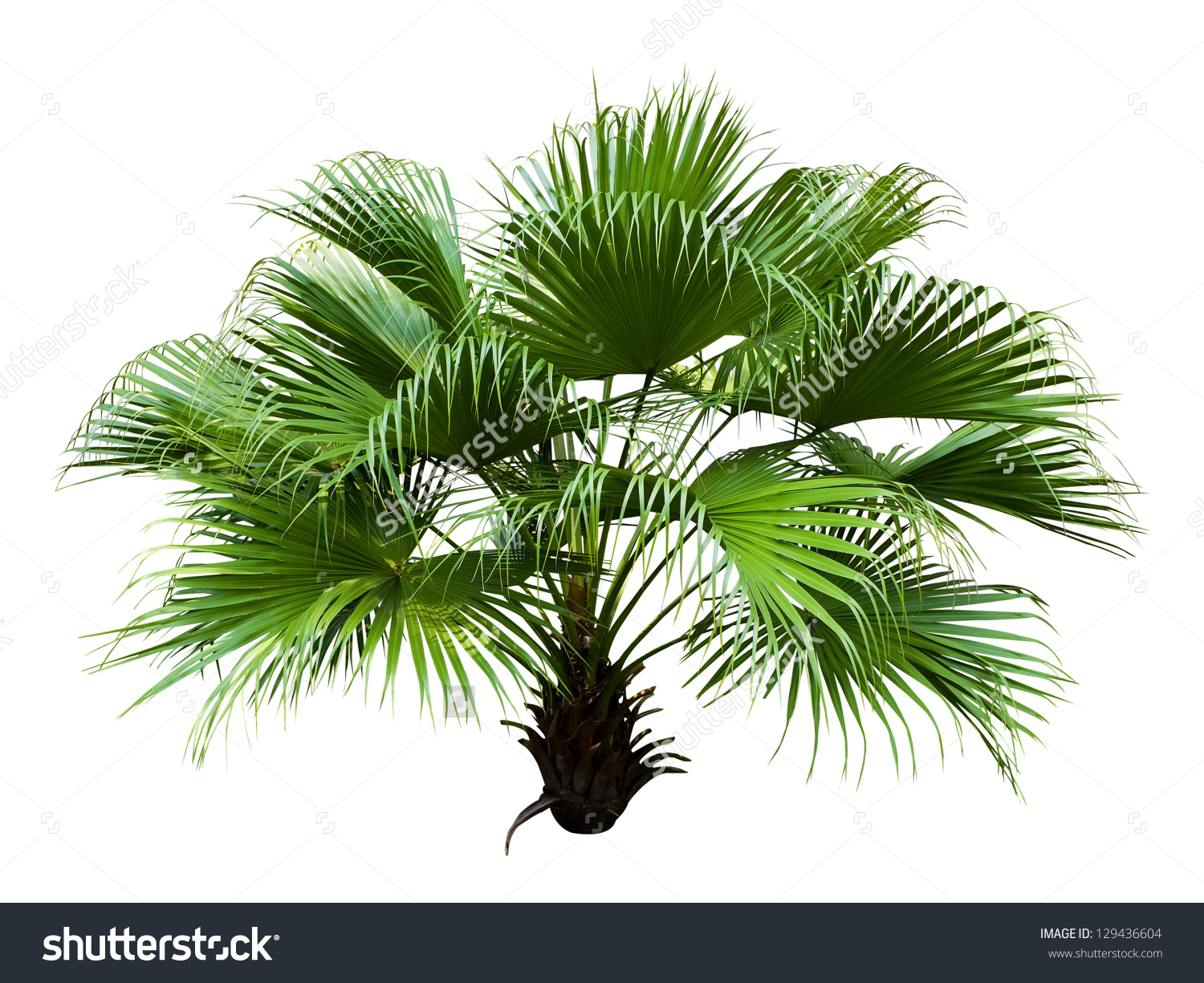 Chinese Fan Palm Isolated On White Stock Photo 129436604.