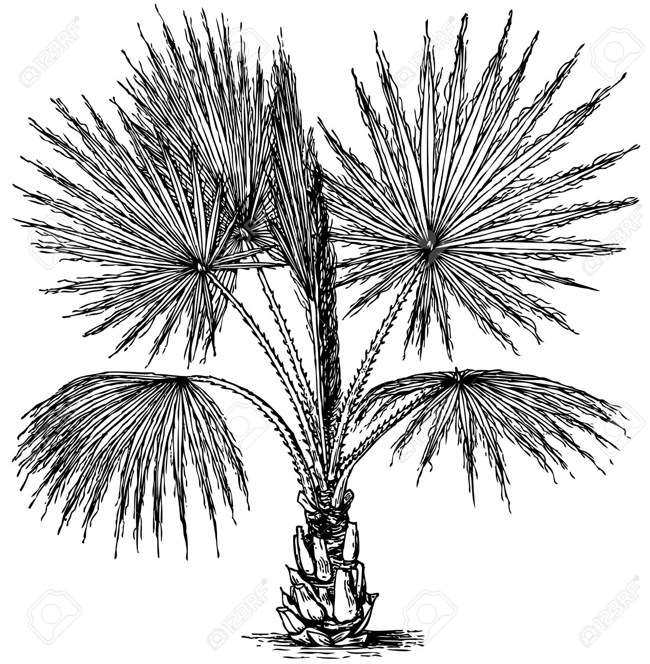 Plant Washingtonia Filifera (California Fan Palm) Isolated On.