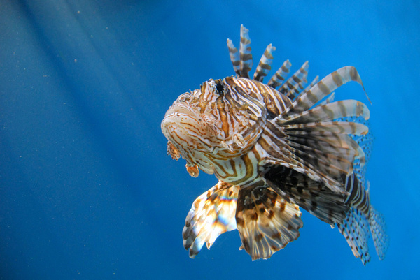 Lion fish Free stock photos in jpg format for free download 4.52MB.