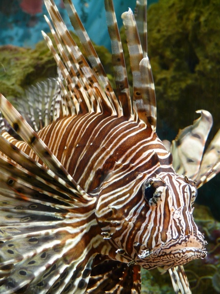 Lionfish fish pacific rotfeuerfisch Free stock photos in JPEG.