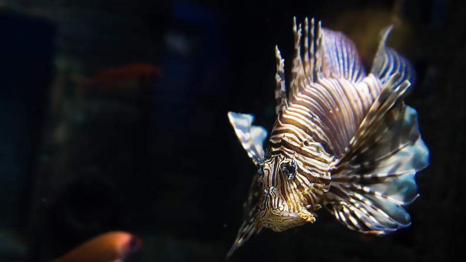 Free photo: Fish, Lionfish, Exotic, Toxic.