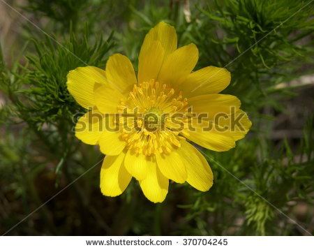 "adonis Vernalis"" Stock Photos, Royalty."