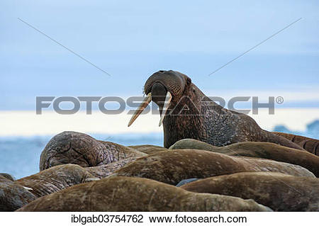 "Stock Photo of ""Group of Walruses (Odobenus rosmarus), Wrangel."