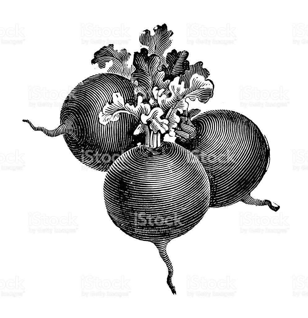 Globe Radish Illustration Vintage Farmer Garden Vegetable Clipart.