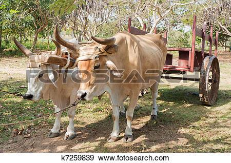 Stock Photograph of Oxen in Cuban Farm k7259839.