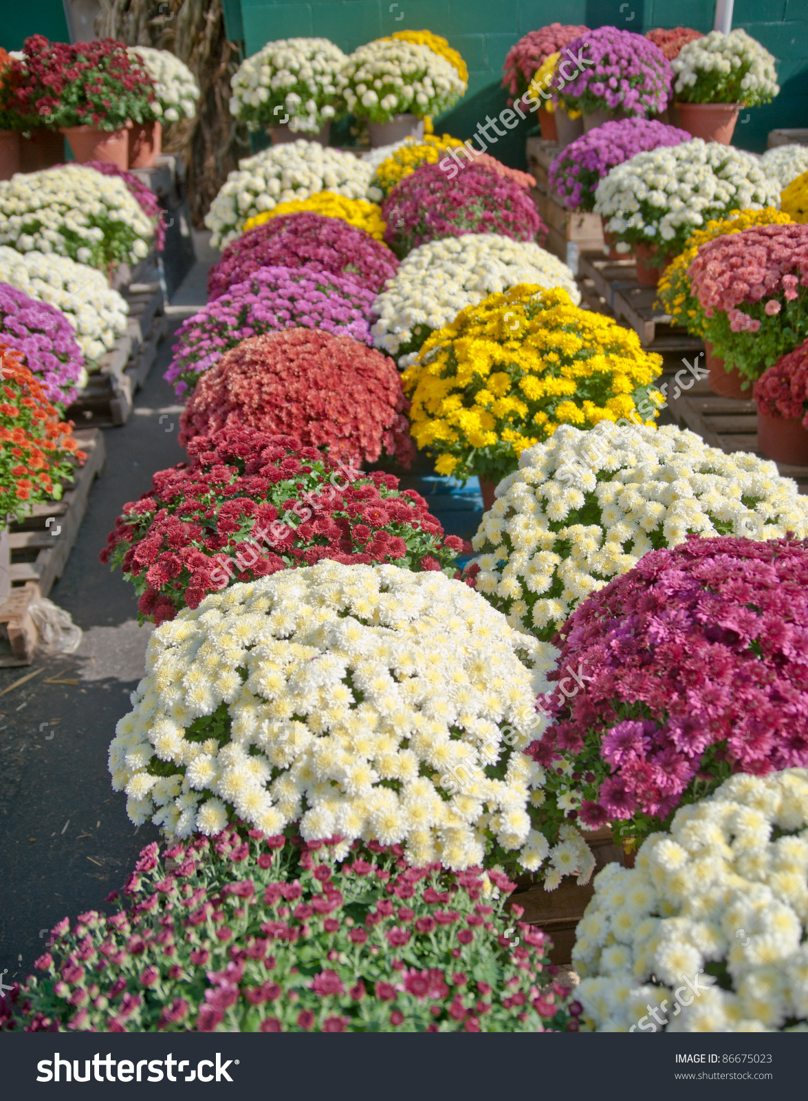 Rows Colorful Flowering Mum Plants Sale Stock Photo 86675023.