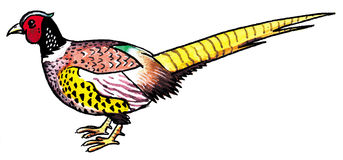 Pheasant Feather Clip Art.