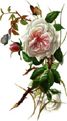 Old fashioned rose clipart.