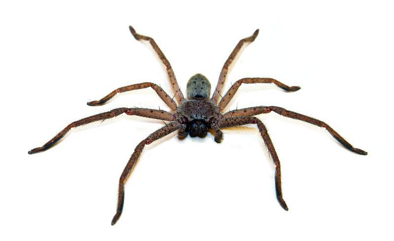 Australian spiders.
